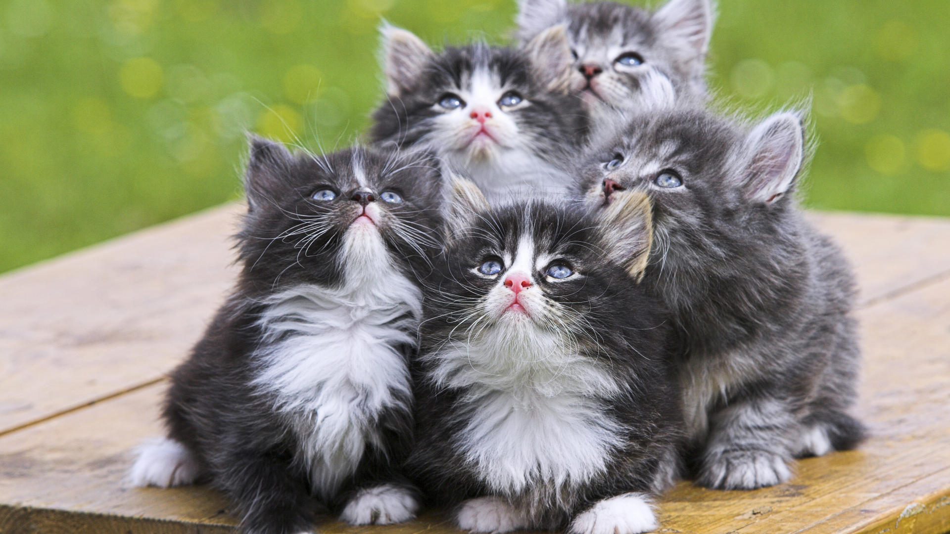 41 Very Cute Persian Kitten And