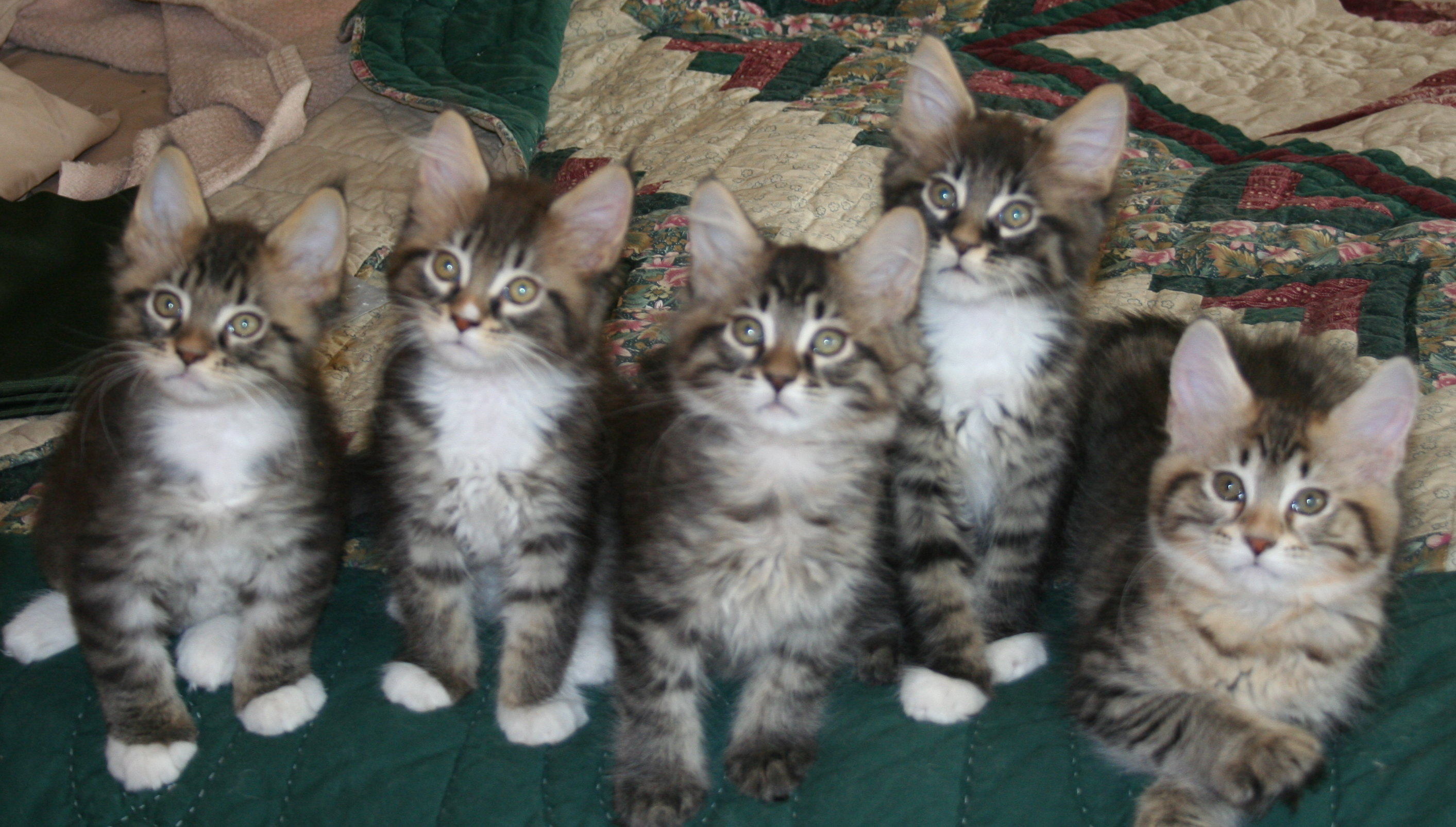 American maine coon cats for sale uk