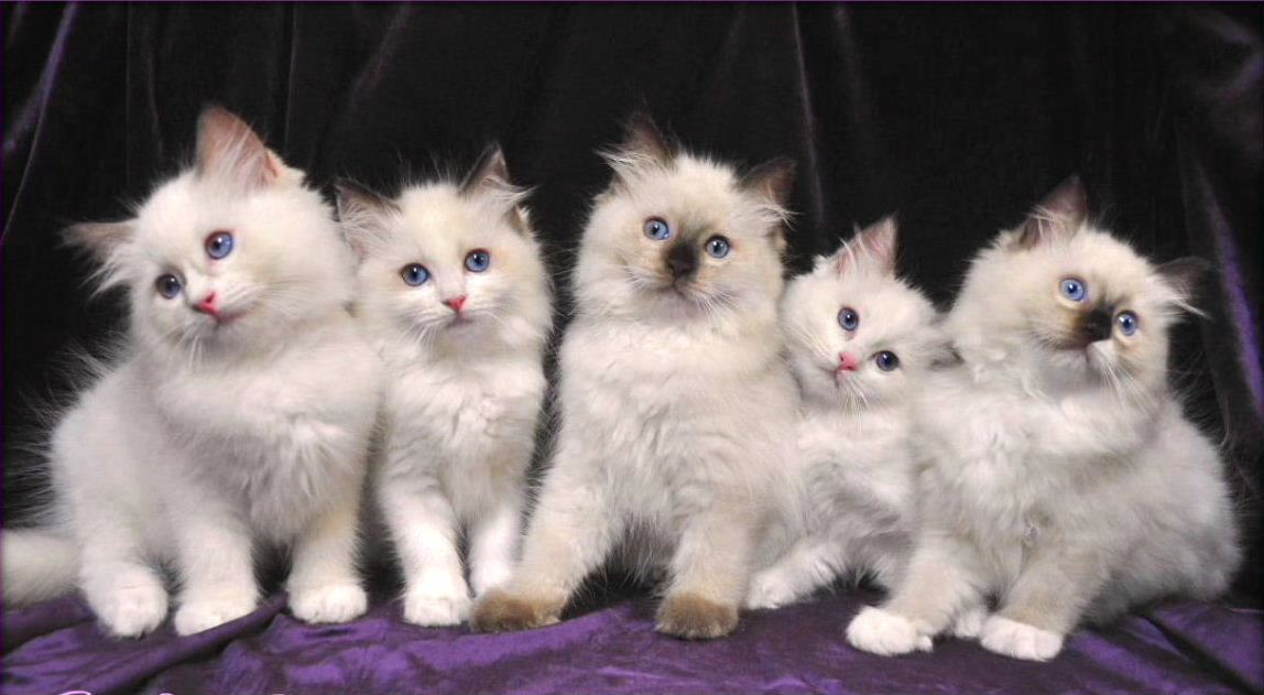 20 Very Cute Ragdoll Kitten Pictures And Photos