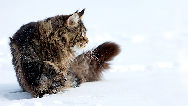 Maine coon playing in snow