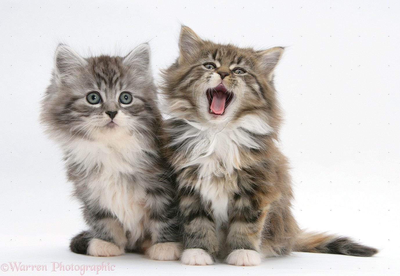31 Wonderful Maine Coon Pictures And Photos