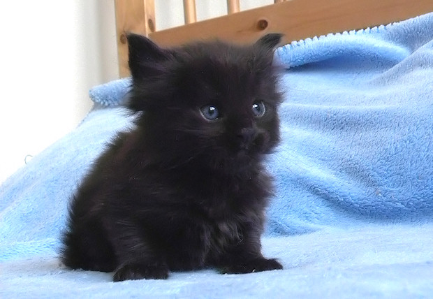 Dark Grey Maine Coon Kittens 31 Most Beautiful Blac...