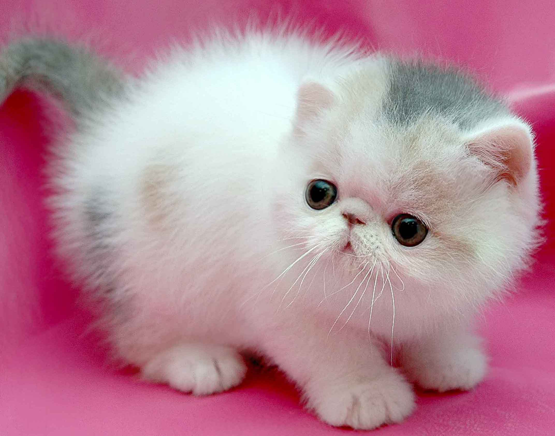 Cute Persian Kitten Playing