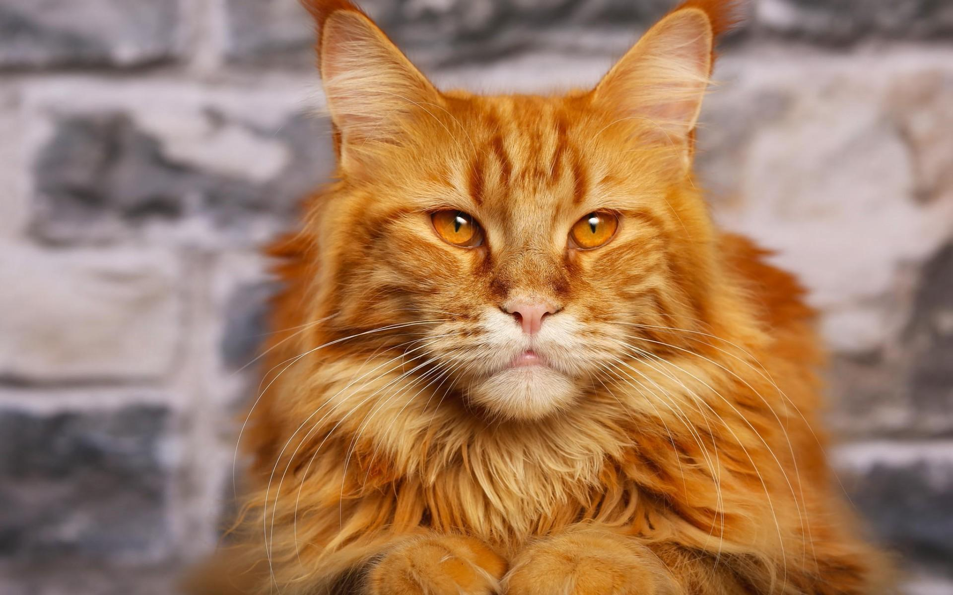 28 beautiful orange maine coon cat pictures and photos