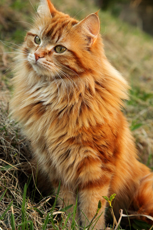 fluffy white and orange cats - photo #30