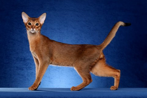 38 most beautiful red abyssinian pictures
