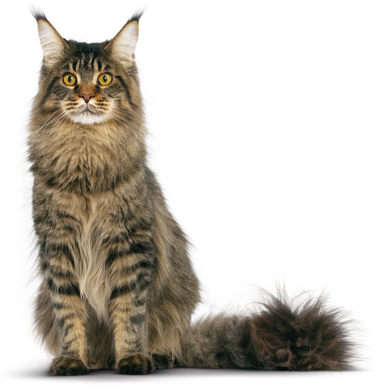Tabby Maine Coon Cat Photo Tabby Maine Coon Kitten