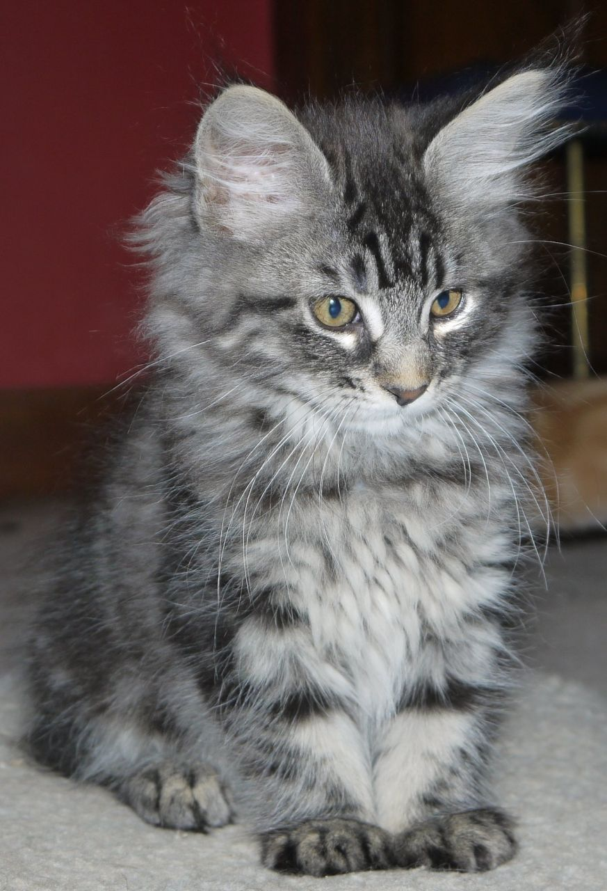 51 Very Beautiful Main Coon Kitten And s