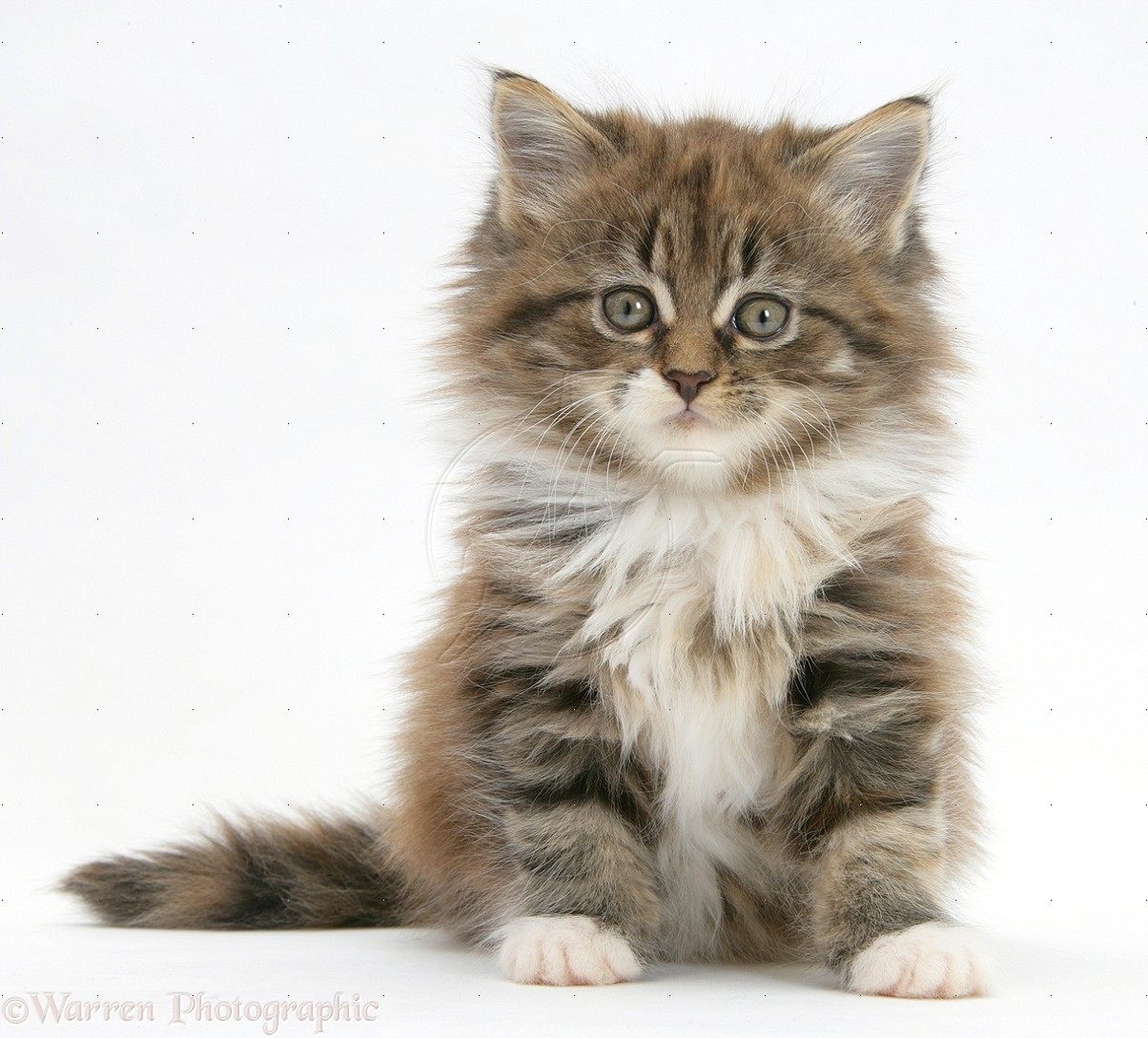 51 Very Beautiful Main Coon Kitten Pictures And Photos Tabby Maine Coon Kitten