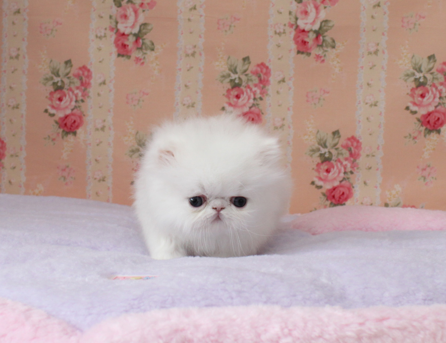 Tea Cup White Persian Kitten