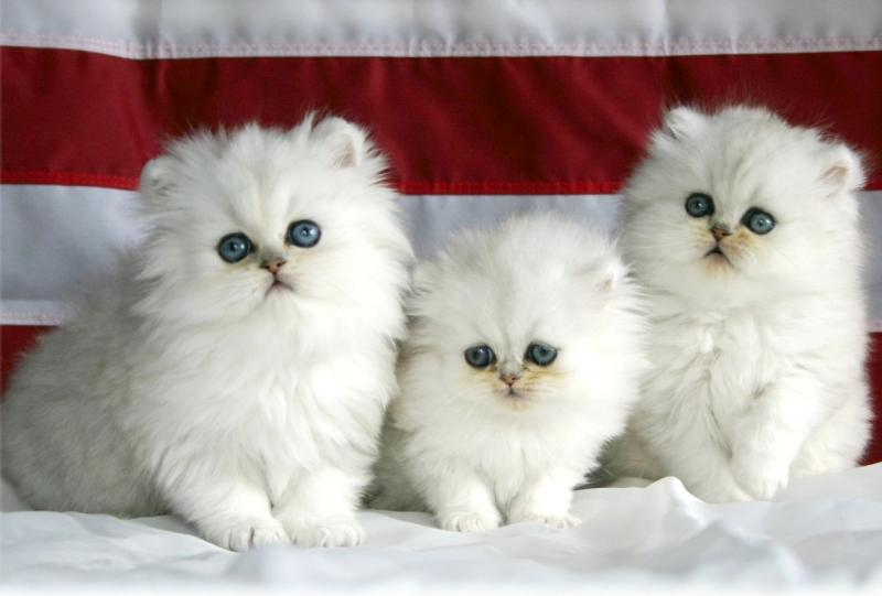 Three Cute Persian Kittens Picture