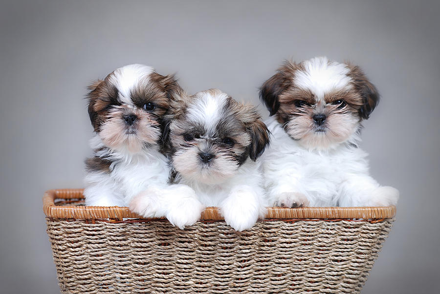 Three Cute Shih Tzu Puppies In Basket