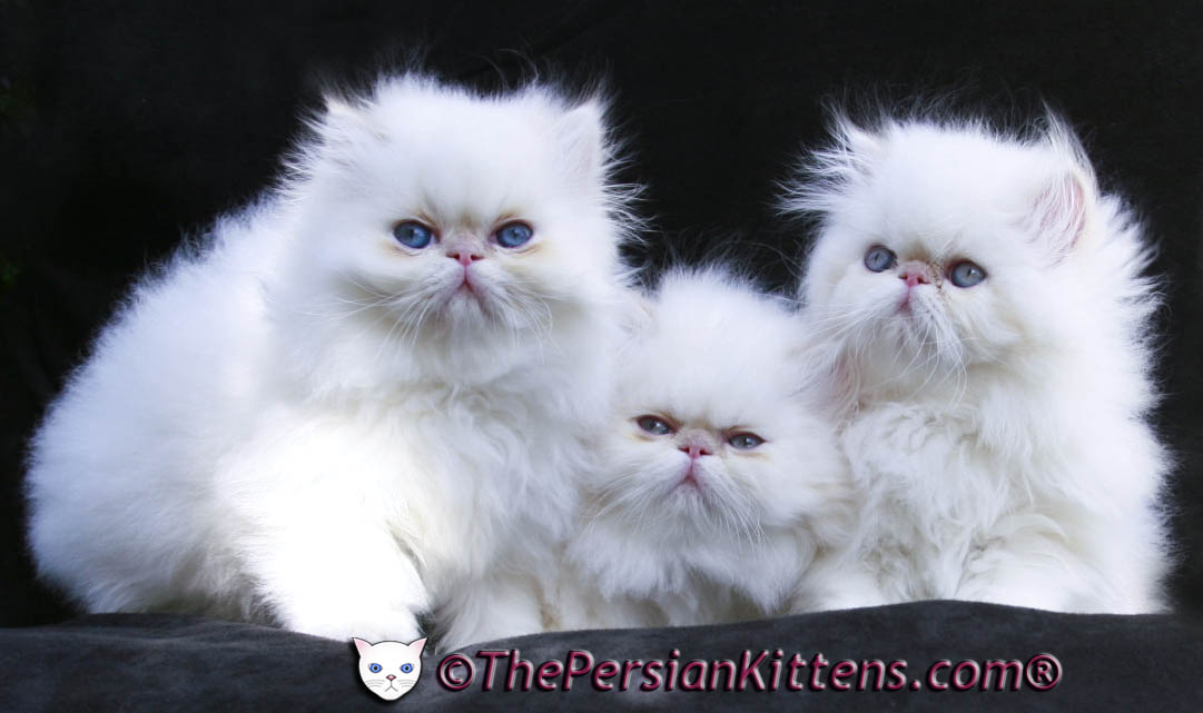 Three Cute White Persian Kittens