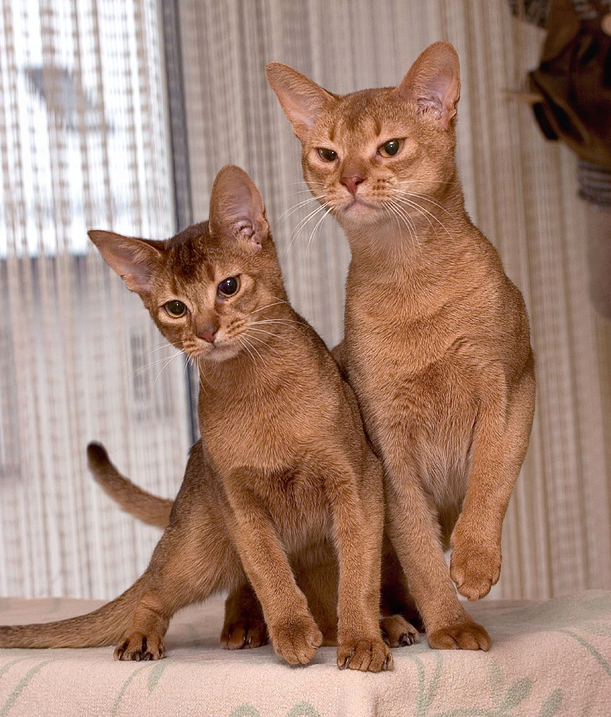Abyssinian cats egypt – Popular breeds of cats photo blog