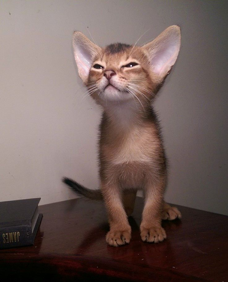 Cat Breed With Really Big Ears