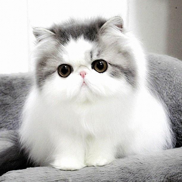 Cute Grey Persi...