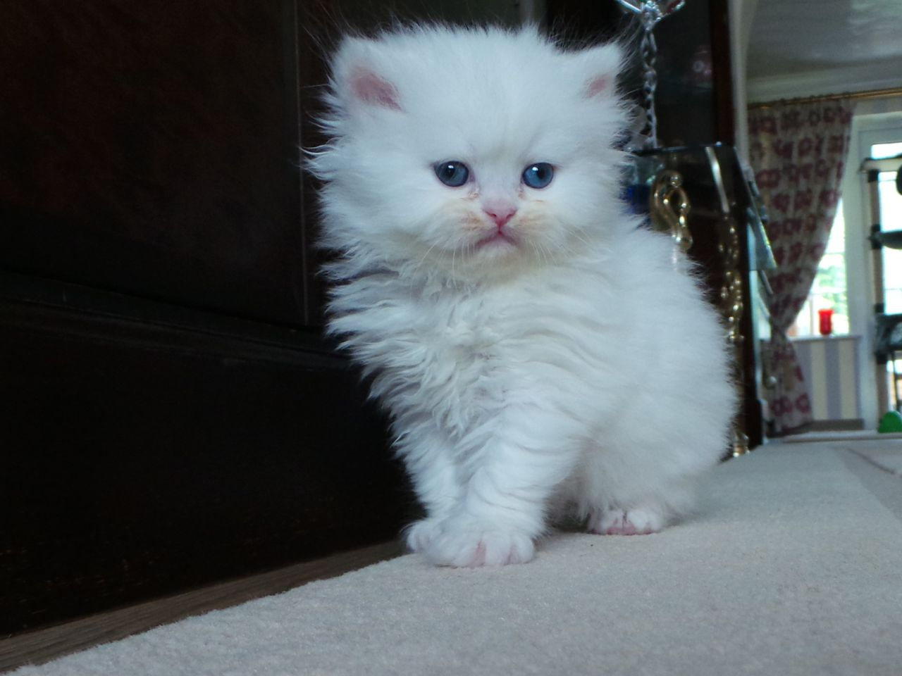 White Female Persian Kitten