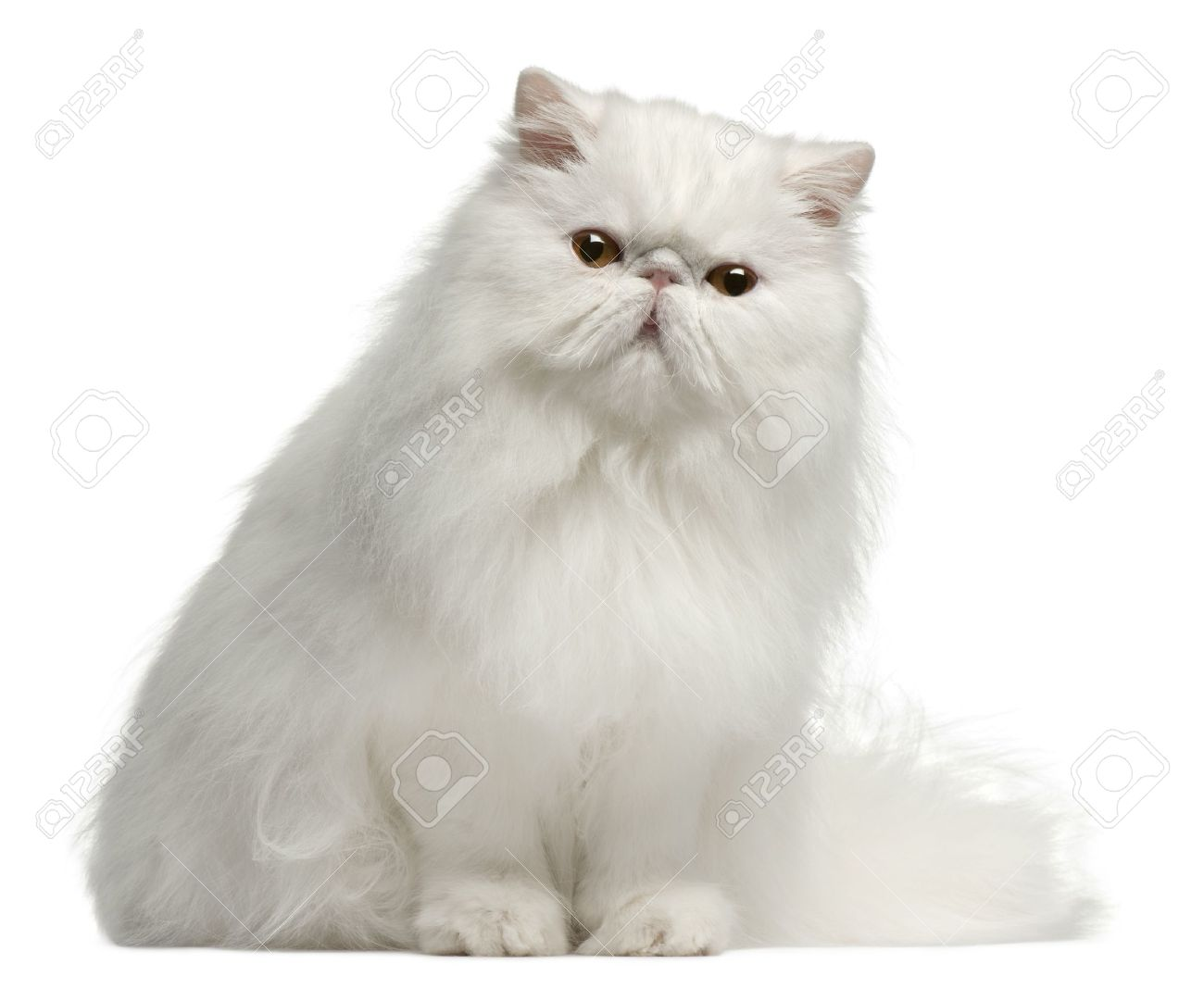 Persian Cat - Askideas.com