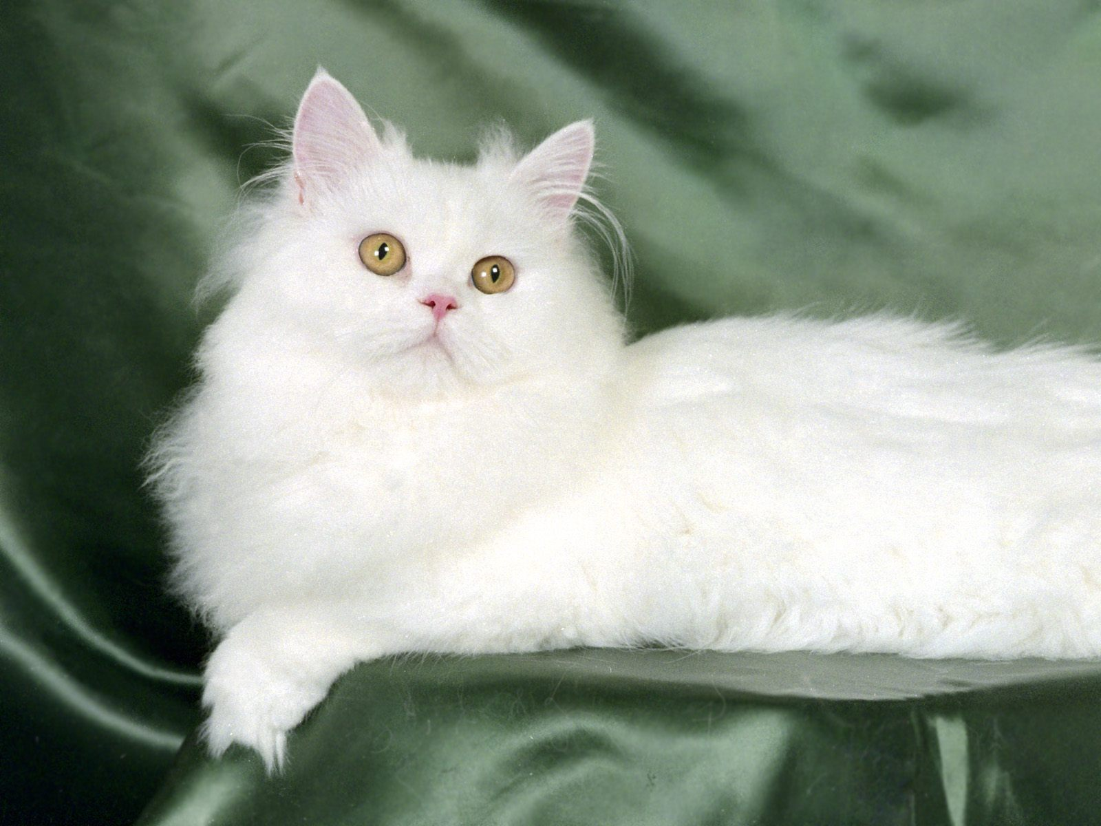 White Persian Cat Sitting On Green Couch