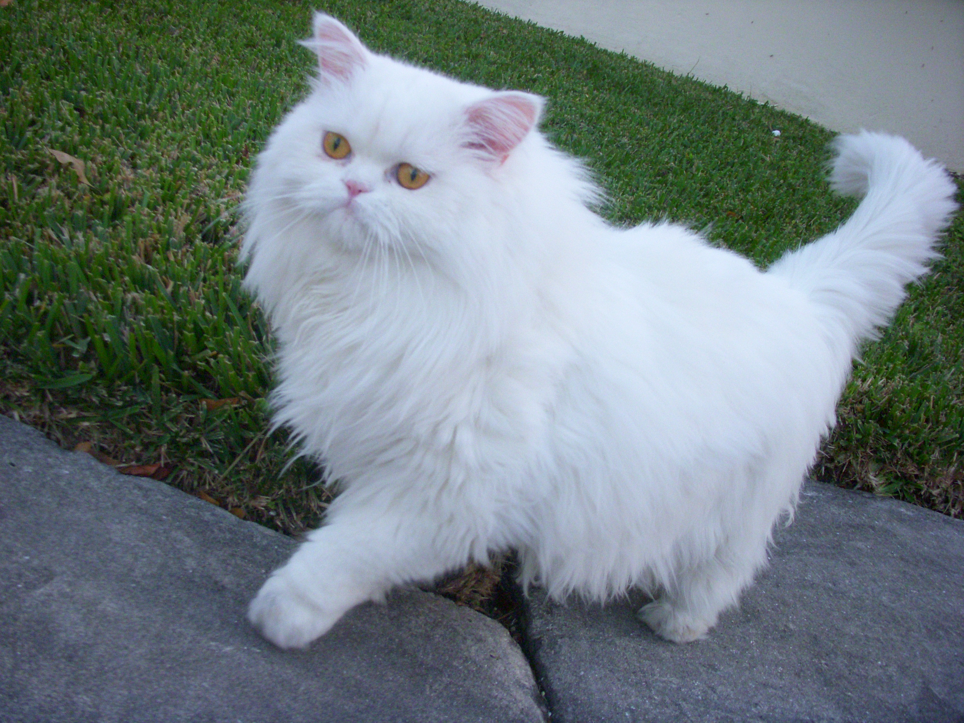White Persian Cat Walking In Lawn