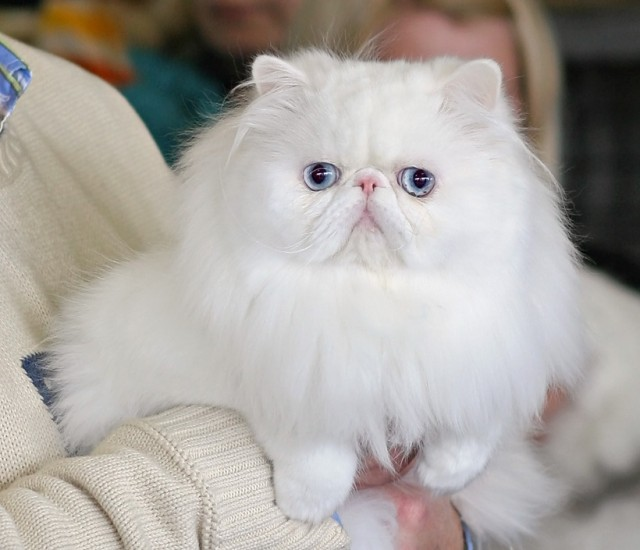 35 Very Best White Persian Cat Pictures And Images