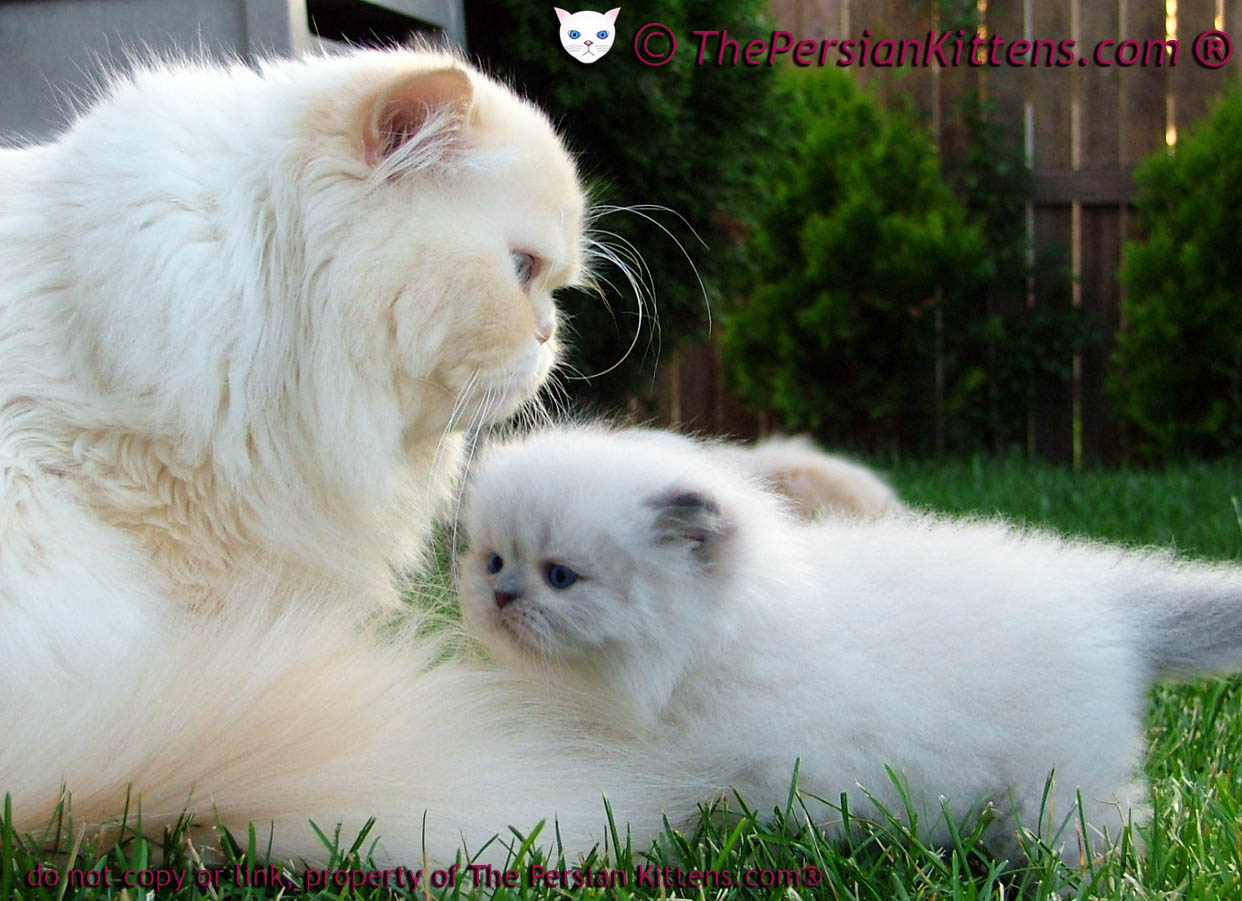 White Persian Cats