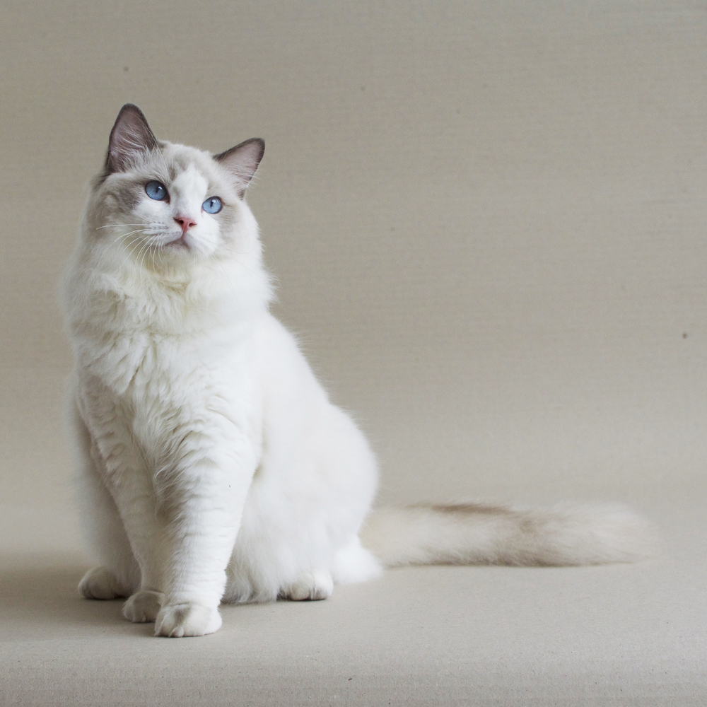 Ragdoll cats white