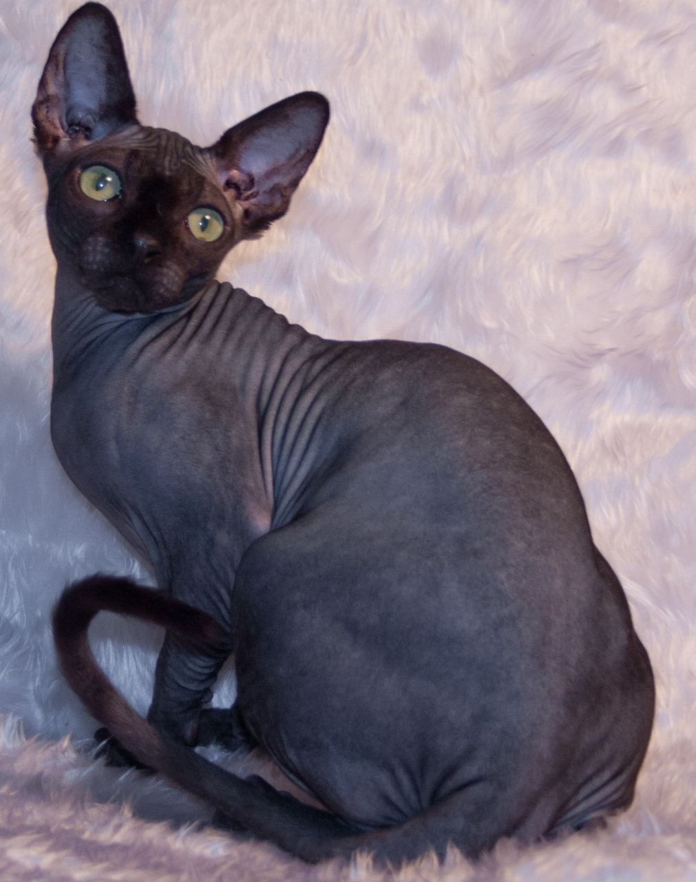 22 Very Beautiful Sphynx Cat Photos And Pictures