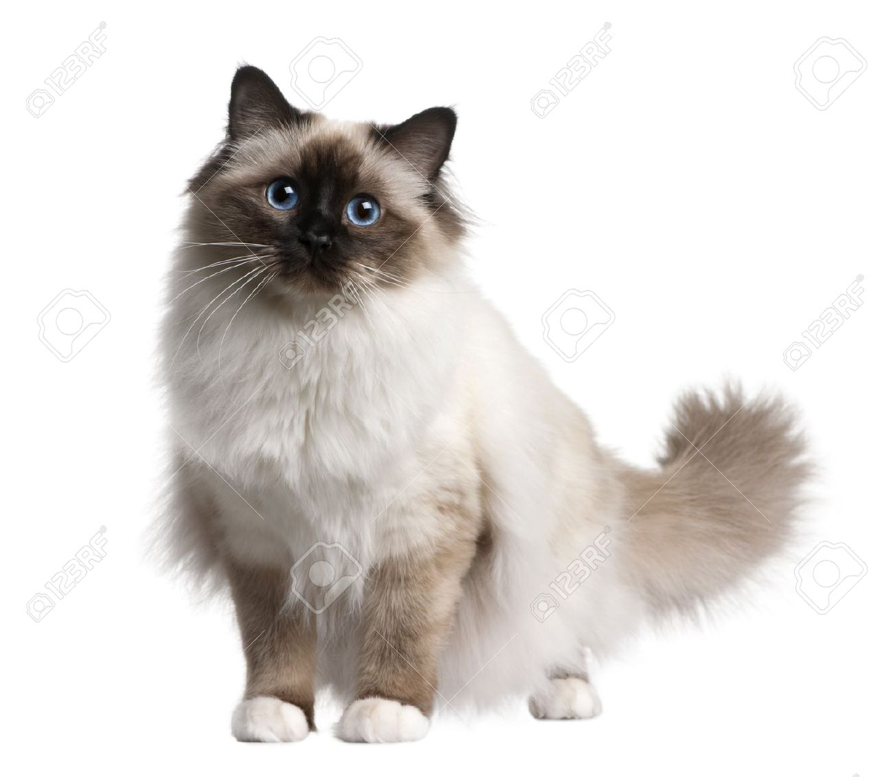 11 months old birman cat picture for Vater para gatos