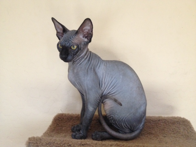 Grey Hairless Cat For Sale