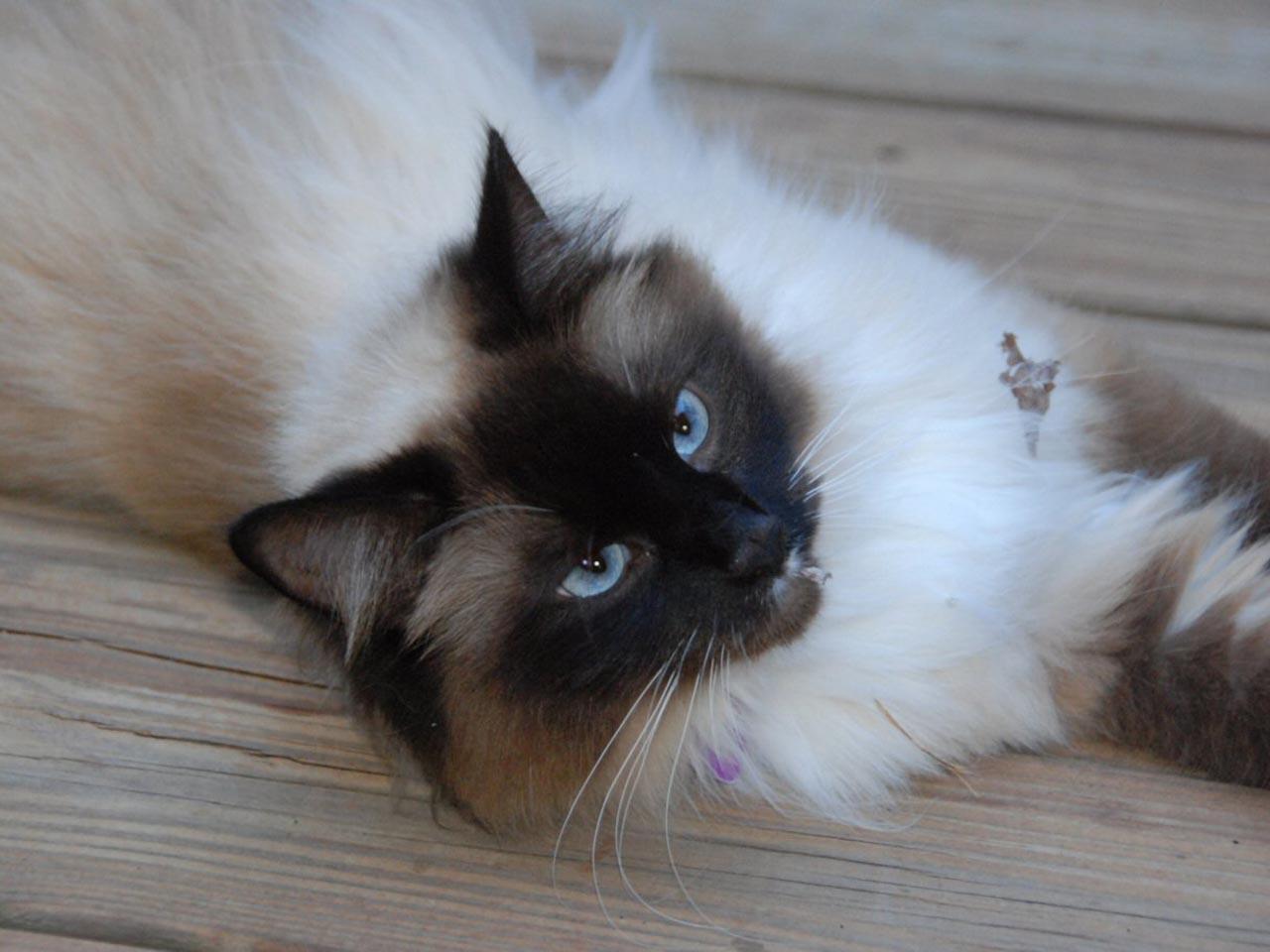 Beautiful Seal Point Birman Cat