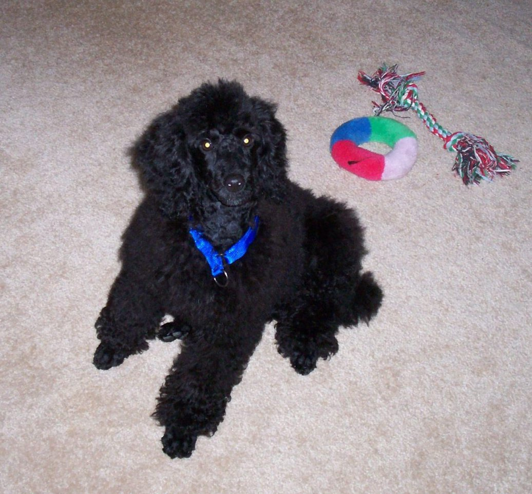 28 Black Poodle Pictures And Photos