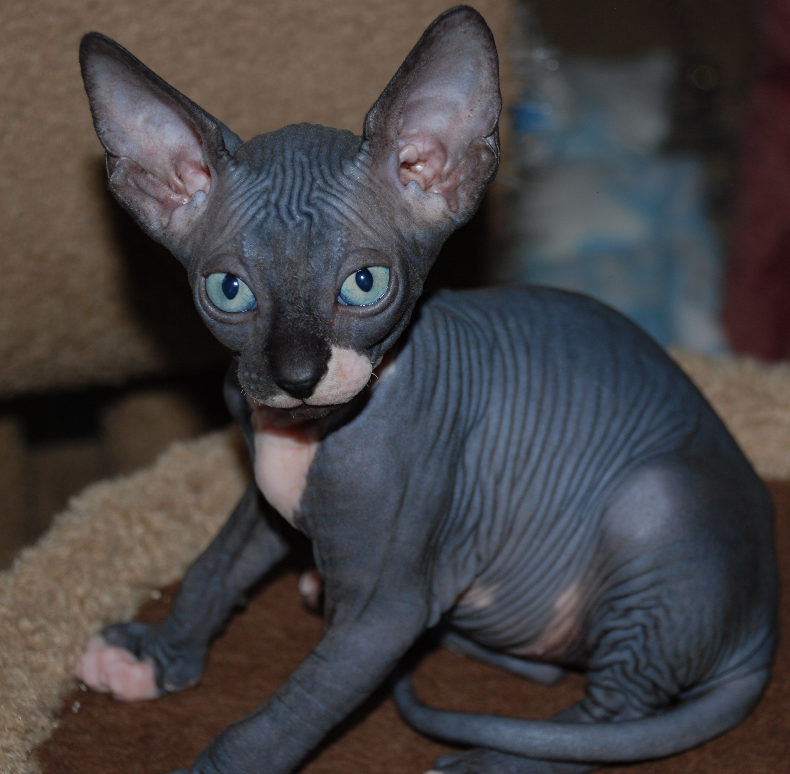 31 Very Beautiful Black Sphynx Cat Pictures