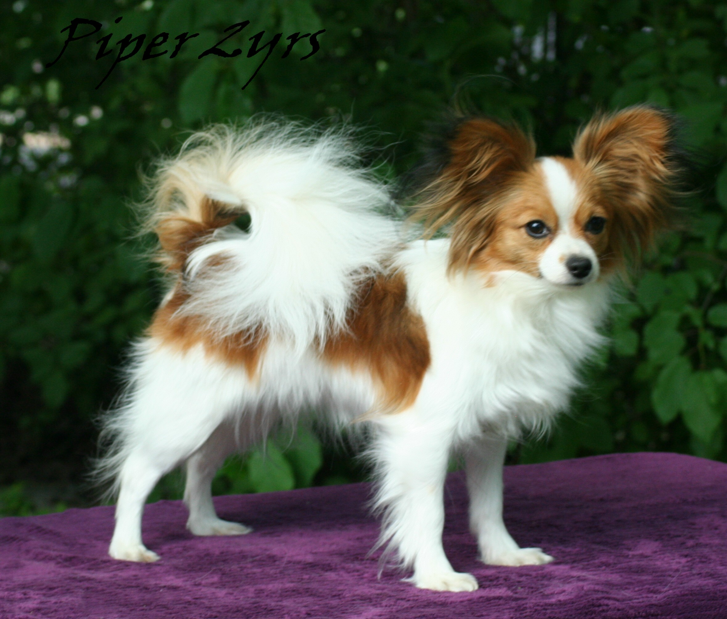 Brown And White Papillon Standing In Lawn