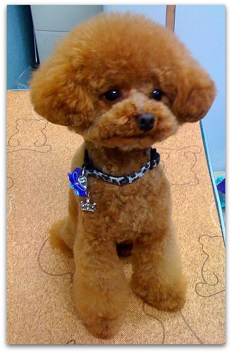 Good Cutest Brown Adorable Dog - Brown-Cute-Poodle-Puppy  2018_421171  .jpg