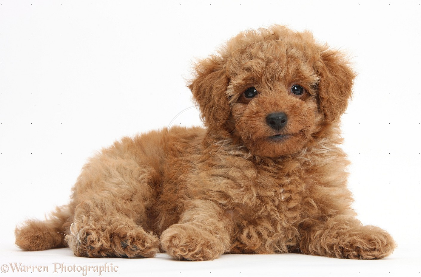Good Cutest Brown Adorable Dog - Cute-Brown-Little-Poodle-Dog  2018_421171  .jpg