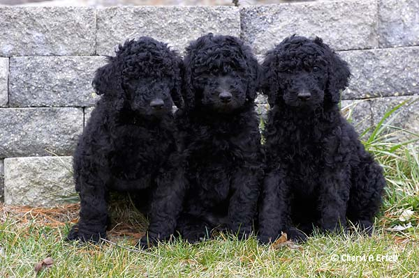 black standard poodle puppy - photo #10