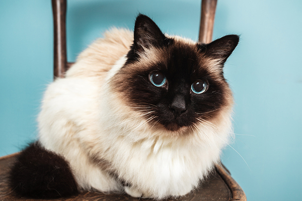 50 Very Beautiful White Birman Cat Pictures And Photos