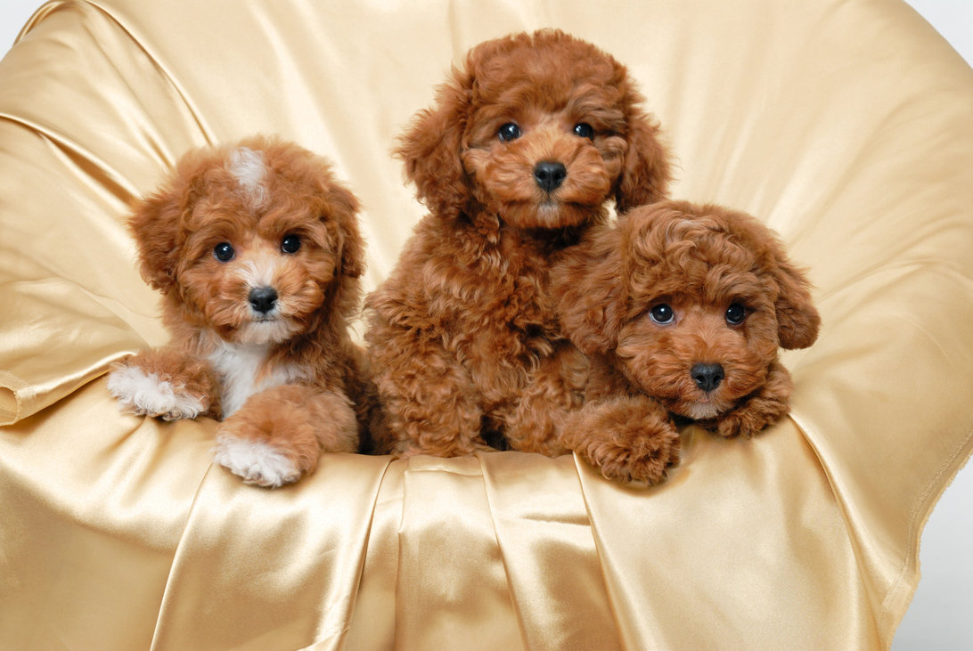 Popular Cutest Brown Adorable Dog - Three-Cute-Brown-Poodle-Dogs  Perfect Image Reference_13996  .jpg