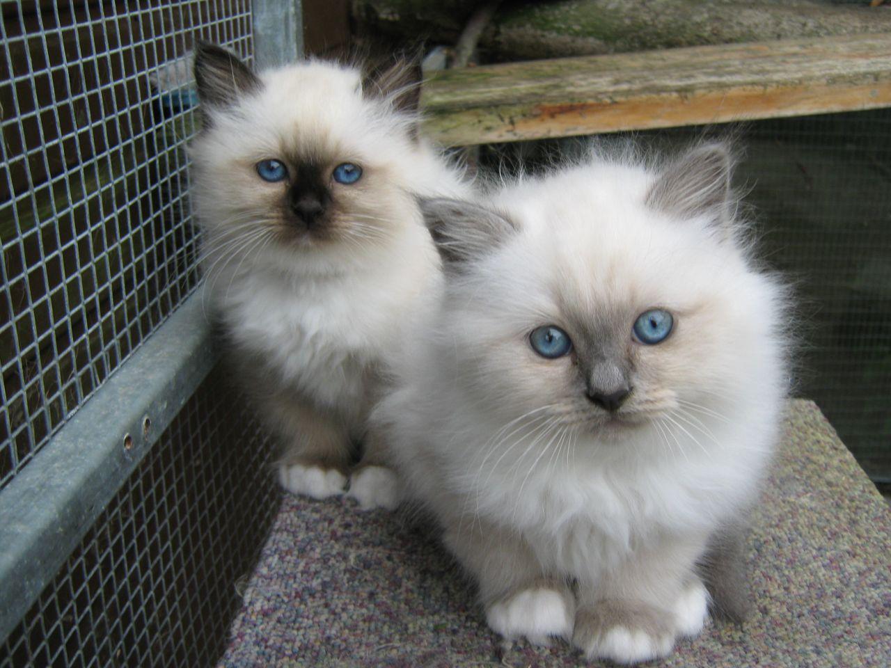 Two Cute Birman Kittens