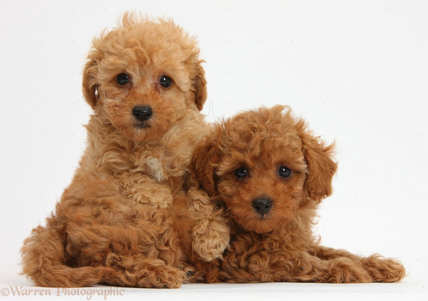 30 very beautiful brown poodle dog pictures