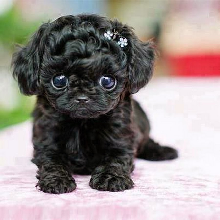 Puppy Cute: Puppy Store |Cute Poodle Puppies