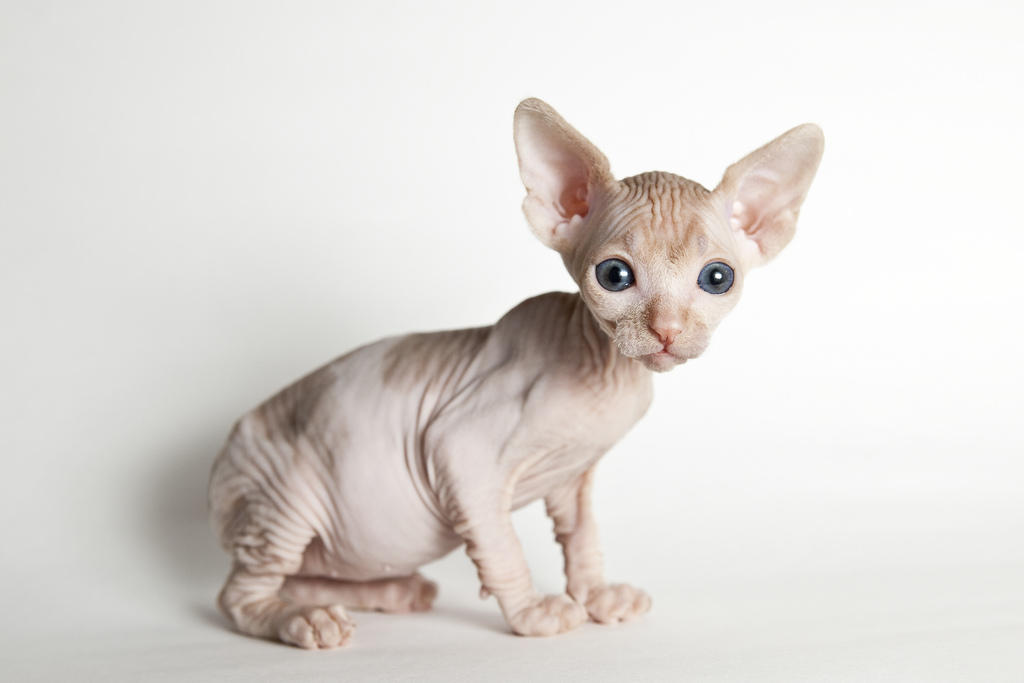 48 Very Cute Sphynx Kitten Pictures And Photos