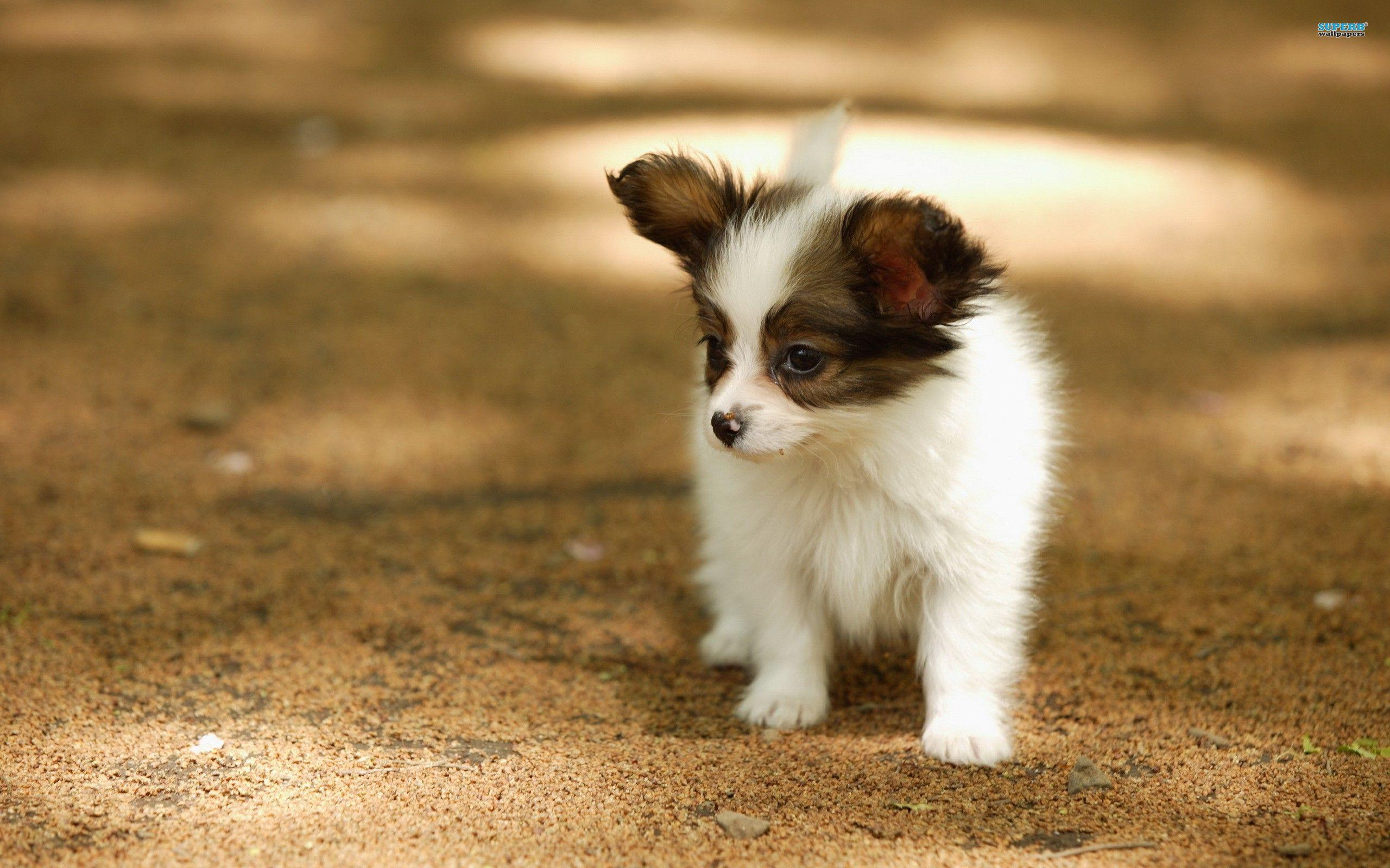 Best Puppy Brown Adorable Dog - Adorable-Papillon-Puppy-HD-Wallpaper  Picture_522035  .jpg