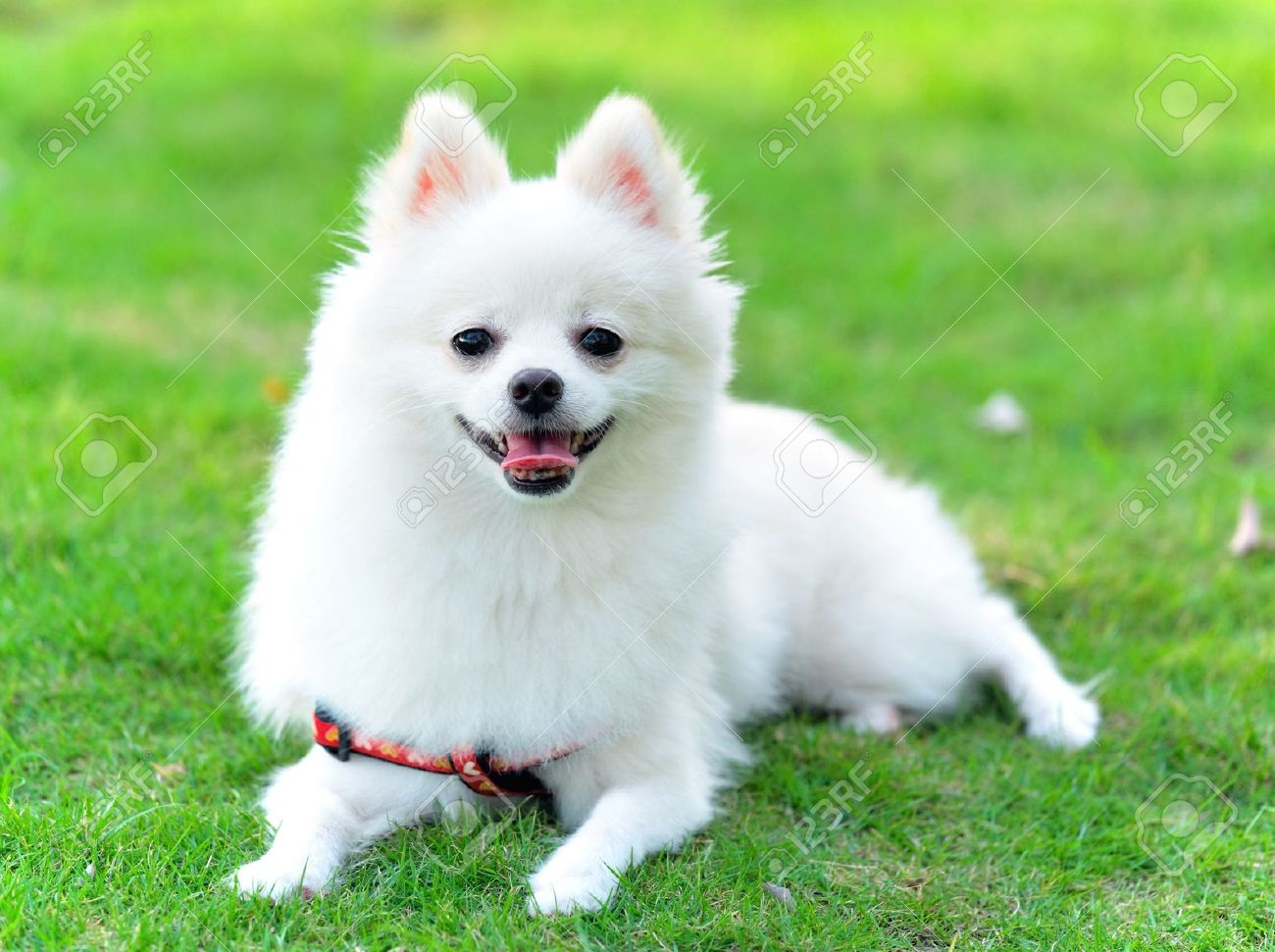 36 Most Amazing White Pomeranian Pictures And Photos
