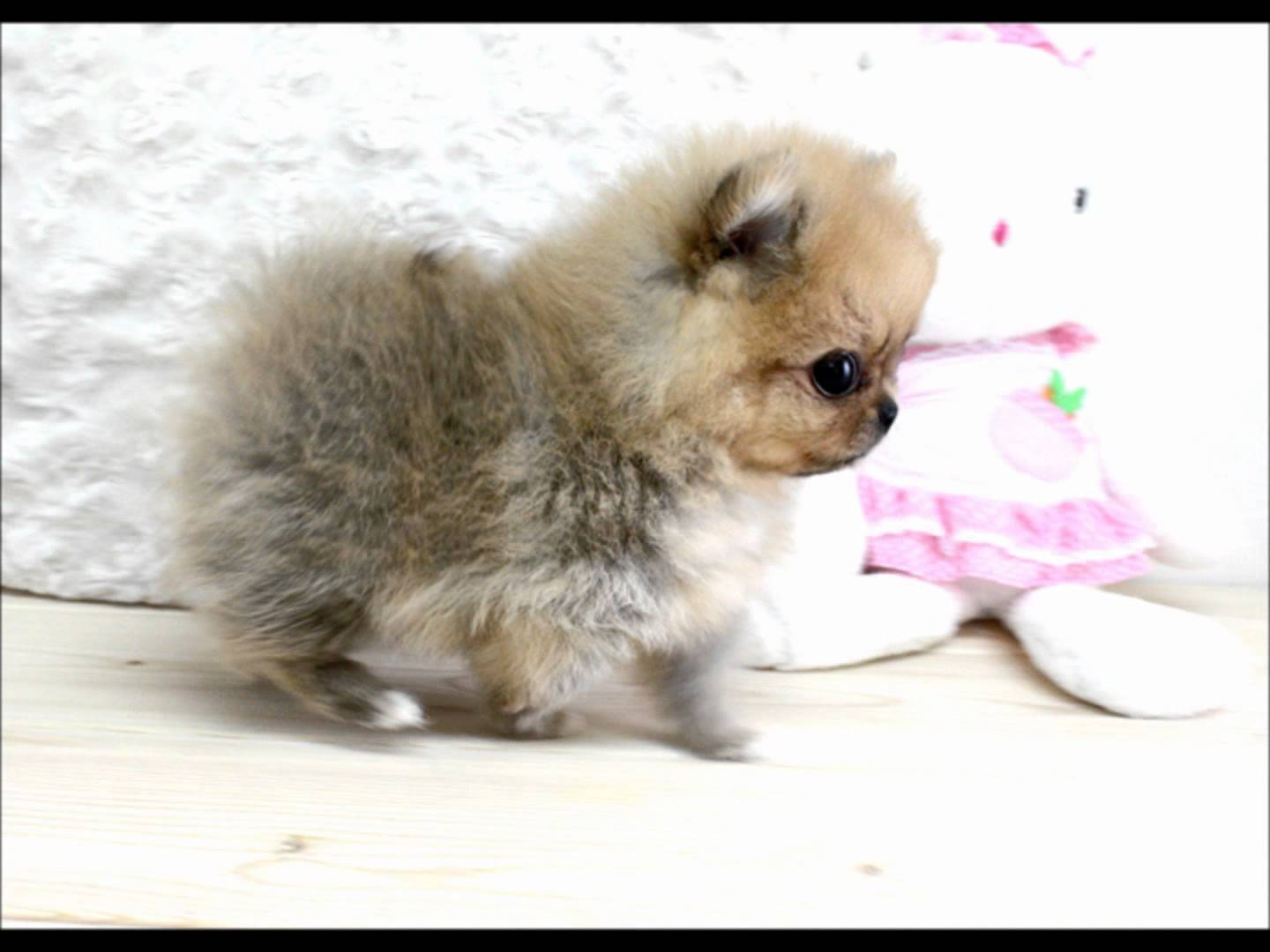 40 Very Cute Pomeranian Puppy Pictures And Photos