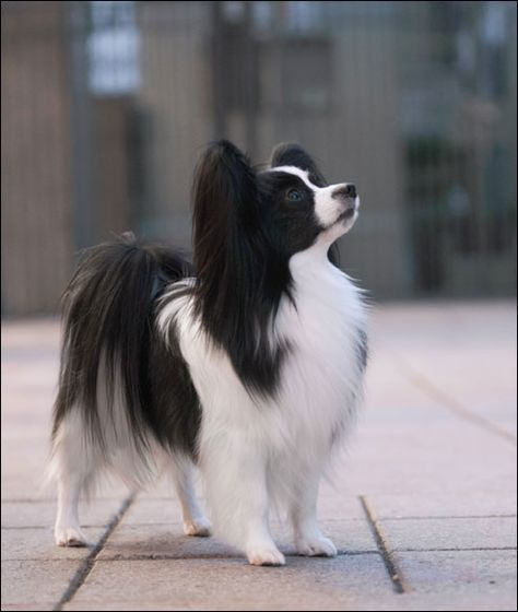 30 Stunning Black And White Papillon Dog Pictures And Photos