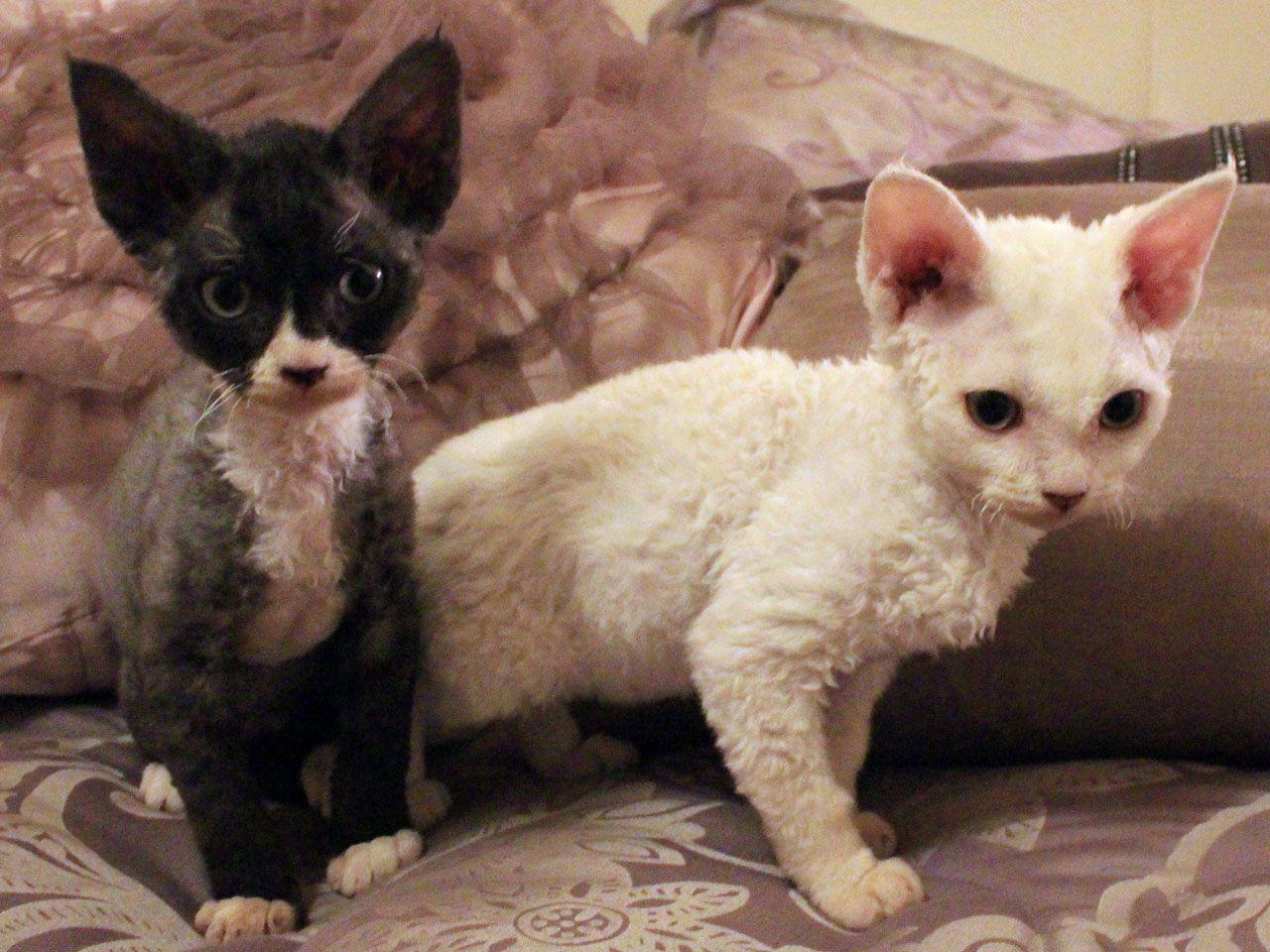 Black And White Two Devon Rex Kittens