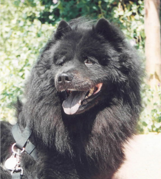 30  most amazing black chow chow dog pictures and images