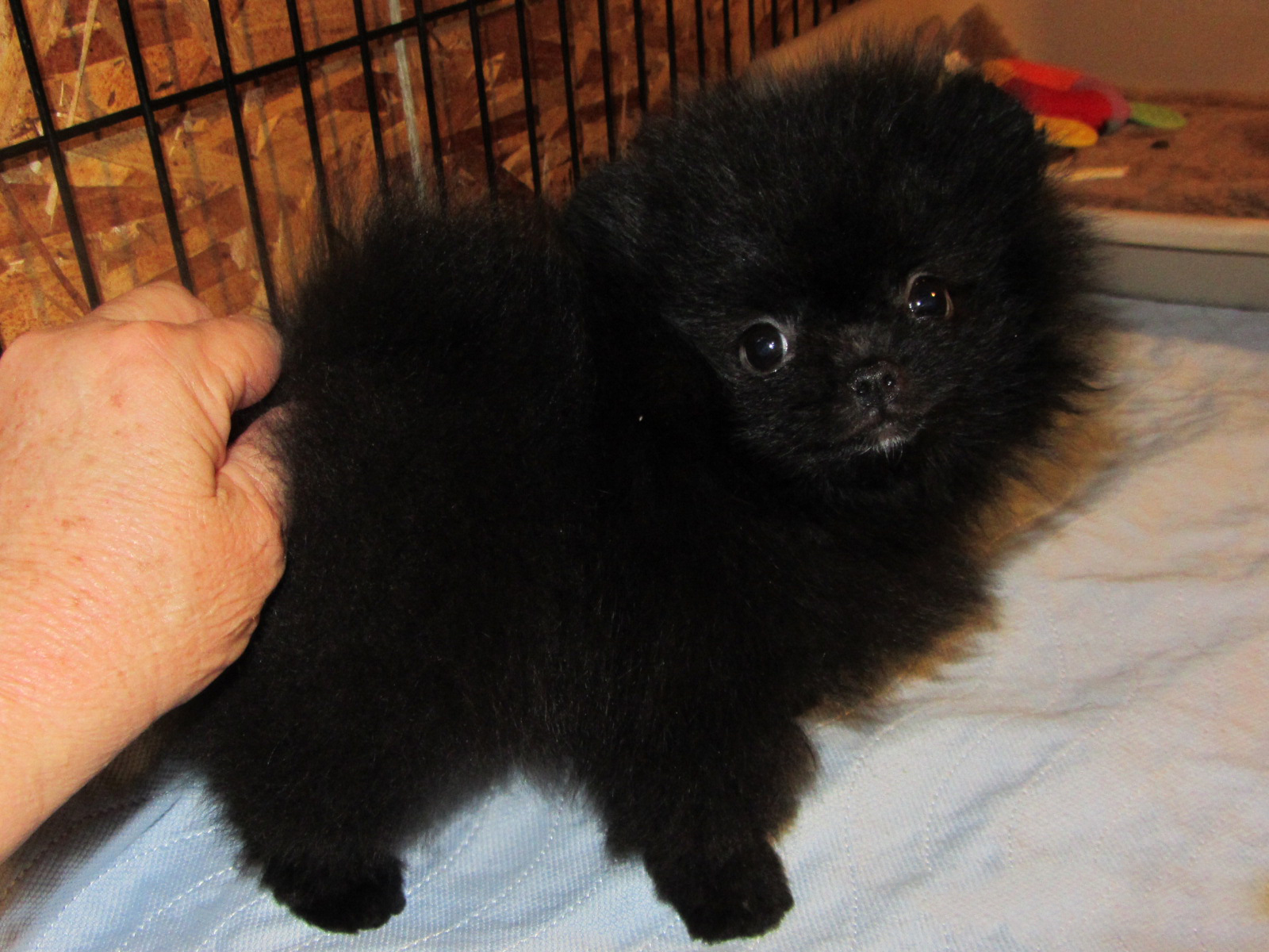 Black Pomeranian Pictures And Images